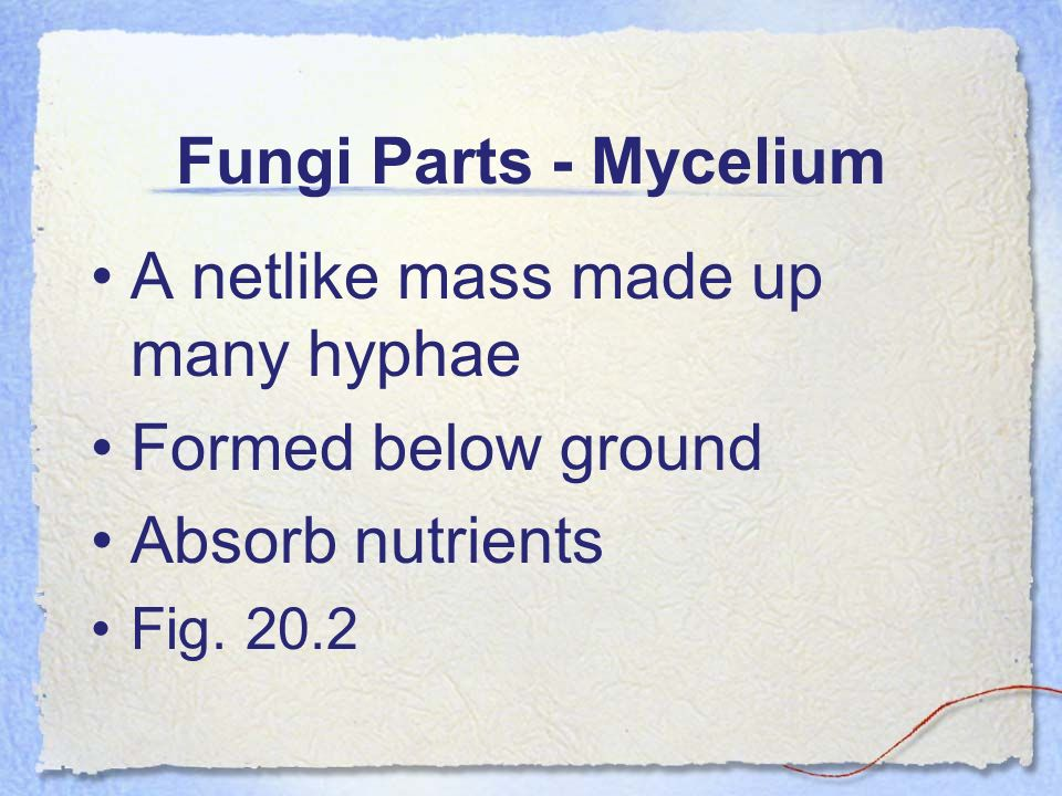 A netlike mass made up many hyphae Formed below ground