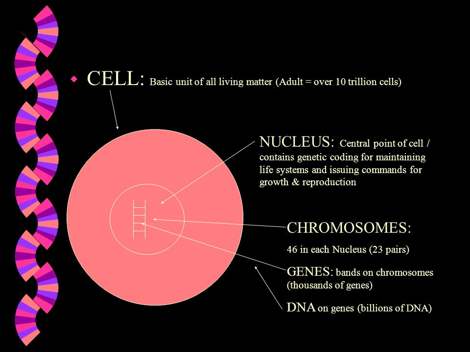 CELL: Basic unit of all living matter (Adult = over 10 trillion cells)