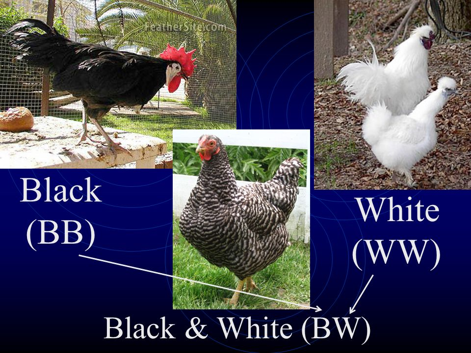 Black (BB) White (WW) Black & White (BW)