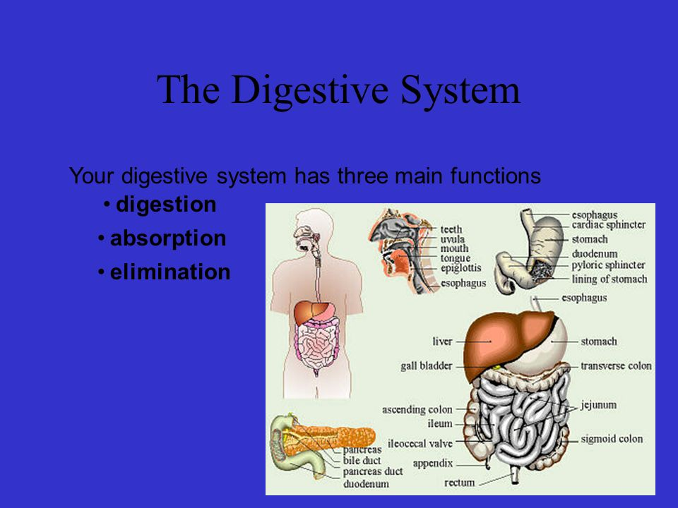 The Digestive System Your Digestive System Has Three Main Functions