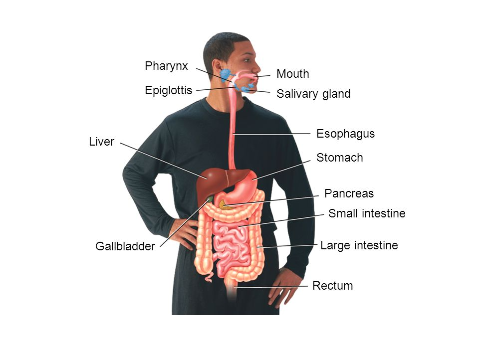 Pharynx Mouth. Epiglottis. Salivary gland. Esophagus. Liver. Stomach. Pancreas. Small intestine.