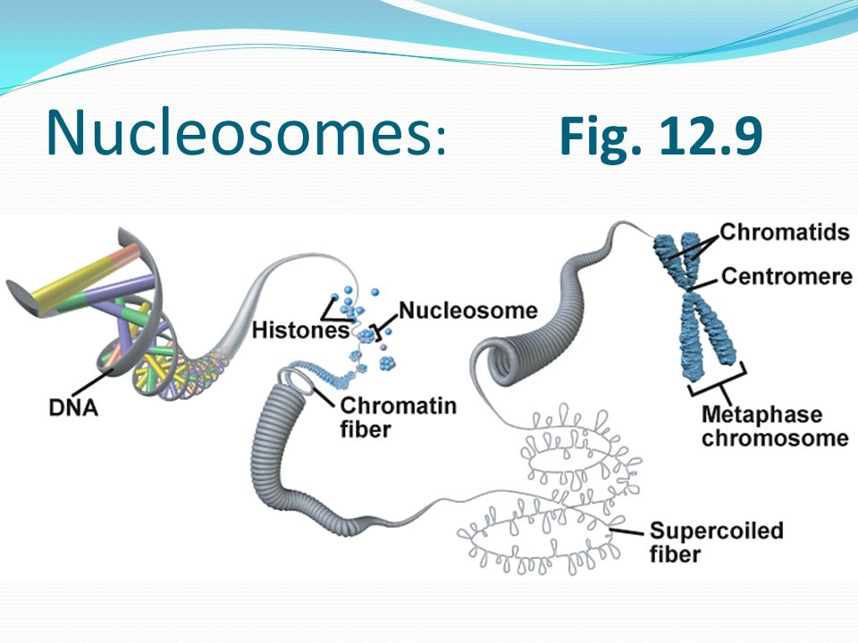 Nucleosomes: Fig. 12.9