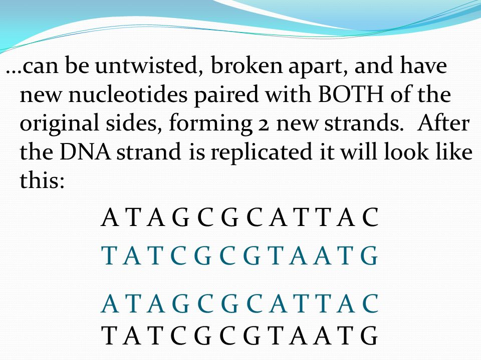 …can be untwisted, broken apart, and have new nucleotides paired with BOTH of the original sides, forming 2 new strands. After the DNA strand is replicated it will look like this: