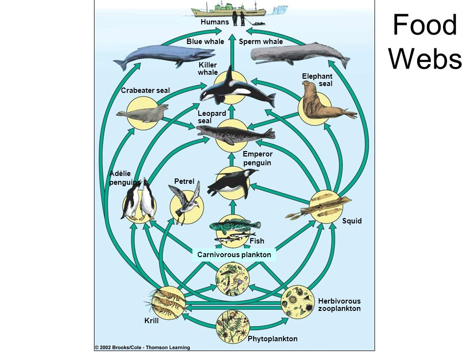 Food Webs Humans Blue whale Sperm whale Killer whale Elephant seal