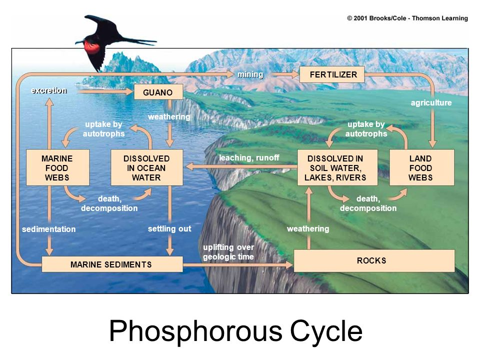 Phosphorous Cycle mining FERTILIZER excretion GUANO agriculture