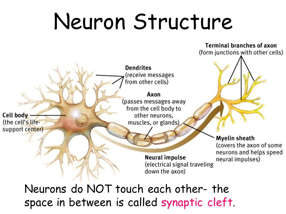 Neuron Structure Neurons do NOT touch each other- the space in between is called synaptic cleft.