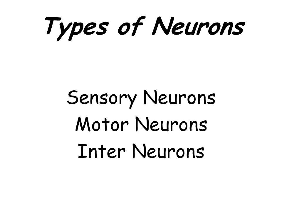 Types of Neurons Sensory Neurons Motor Neurons Inter Neurons