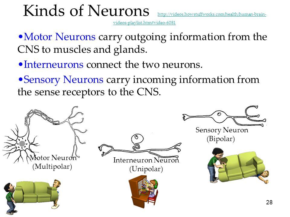 Interneuron Neuron (Unipolar)