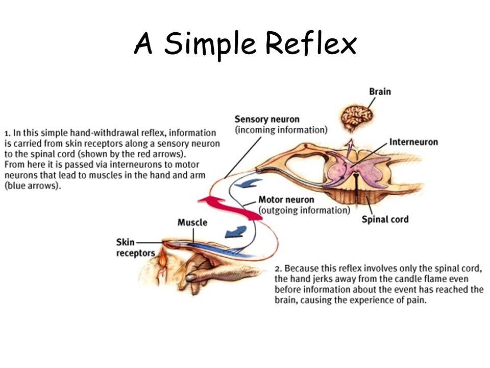 A Simple Reflex