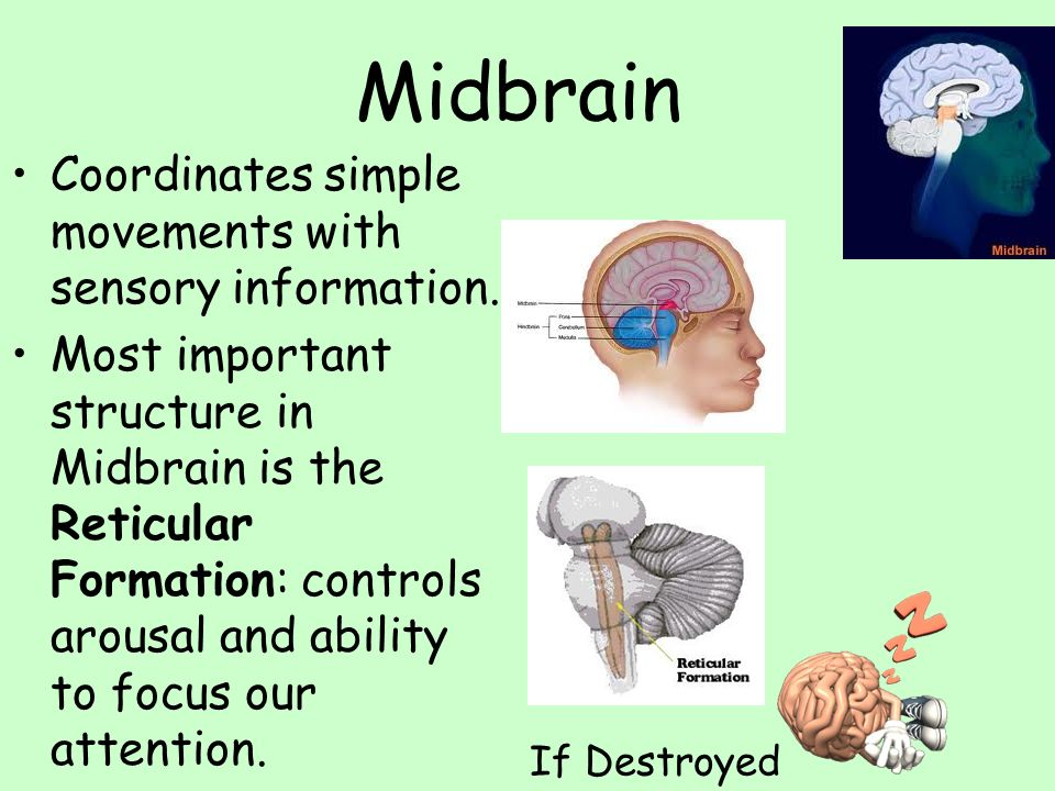 Midbrain Coordinates simple movements with sensory information.