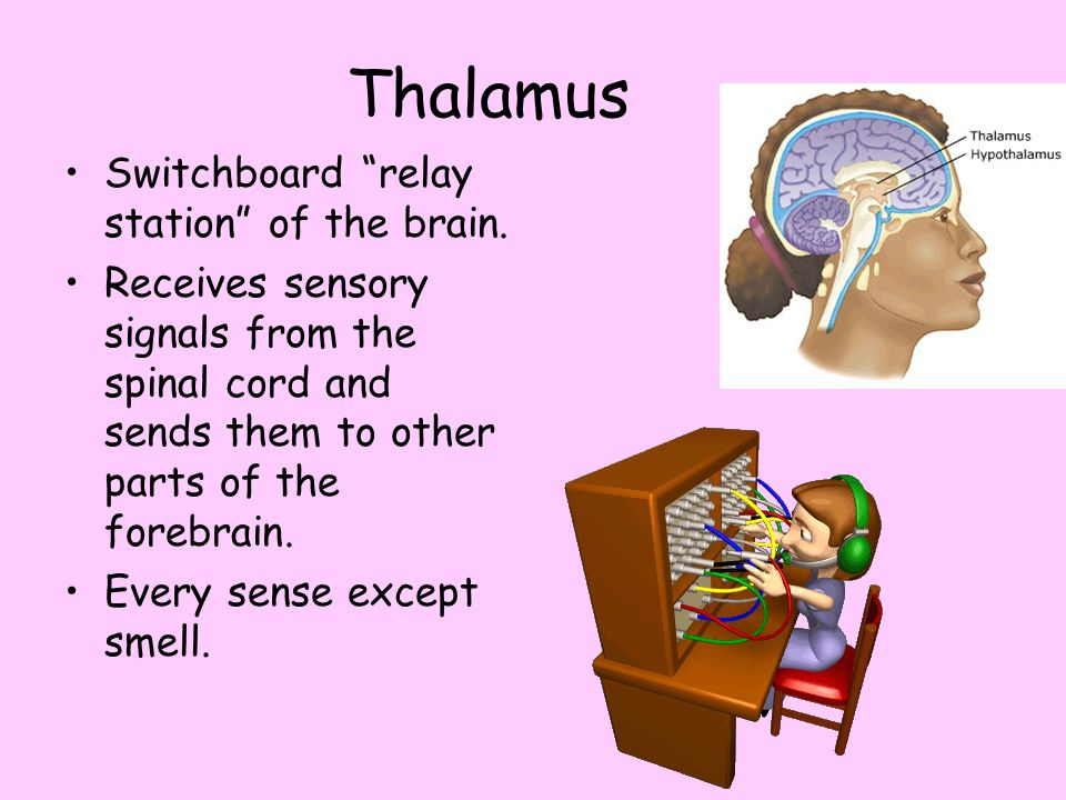 Thalamus Switchboard relay station of the brain.