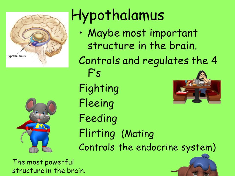 Hypothalamus Maybe most important structure in the brain.