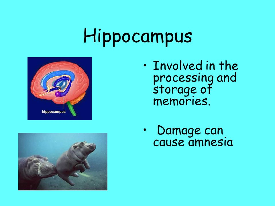 Hippocampus Involved in the processing and storage of memories.