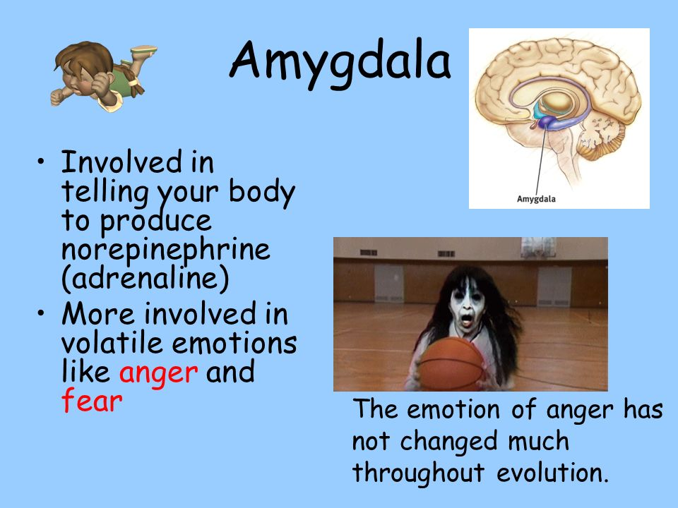 Amygdala Involved in telling your body to produce norepinephrine (adrenaline) More involved in volatile emotions like anger and fear.