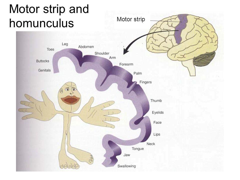 Motor strip and homunculus