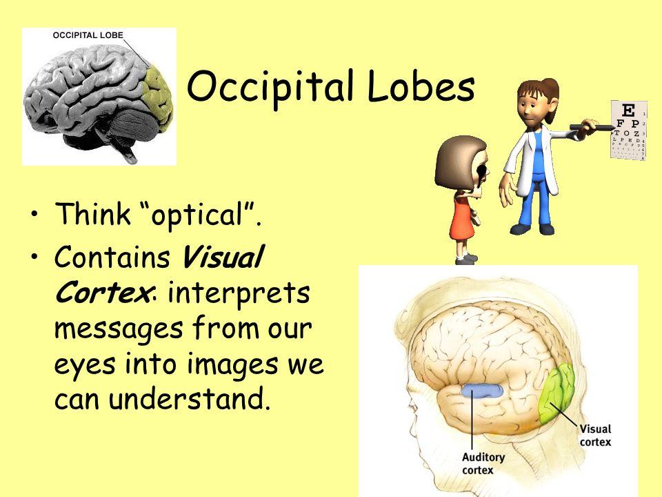 Occipital Lobes Think optical .