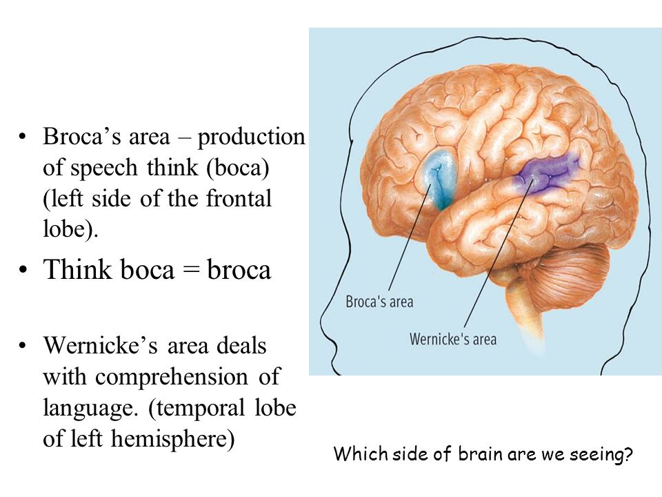 Broca's area – production of speech think (boca) (left side of the frontal lobe).