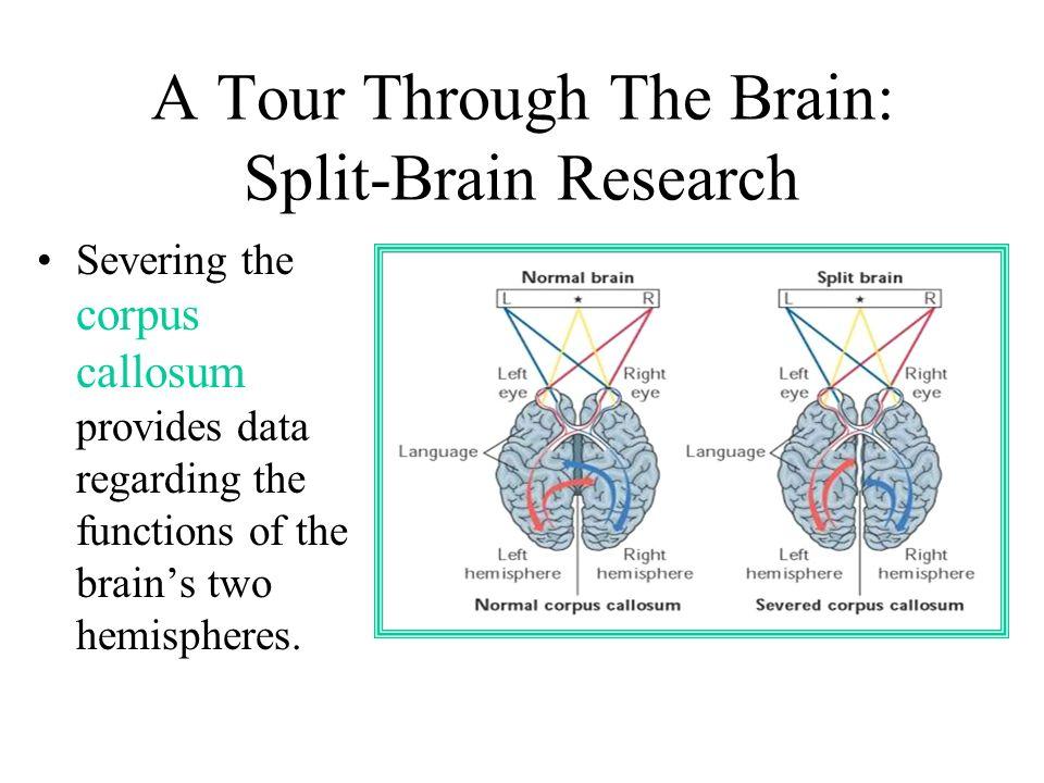 A Tour Through The Brain: Split-Brain Research