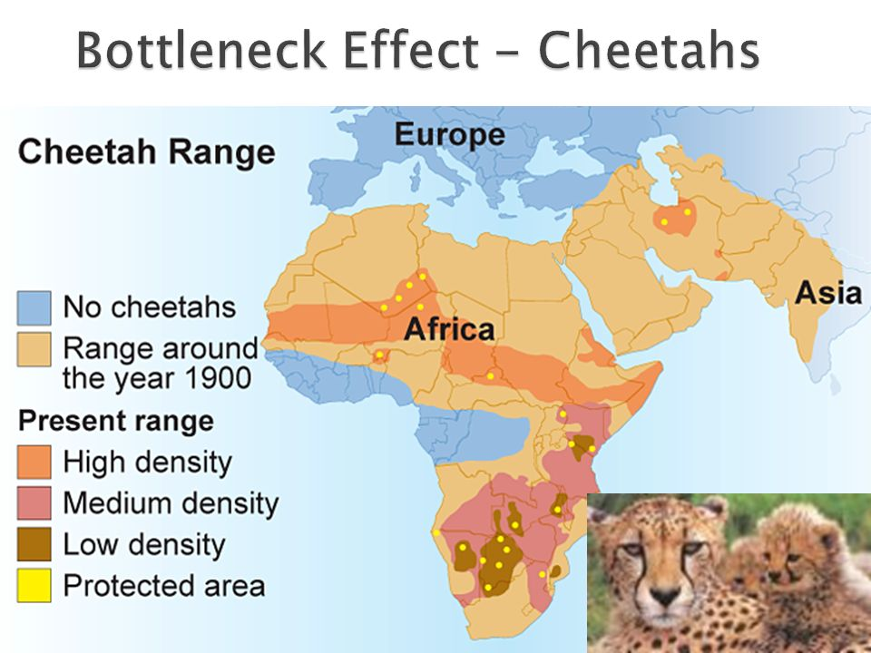 Bottleneck Effect - Cheetahs