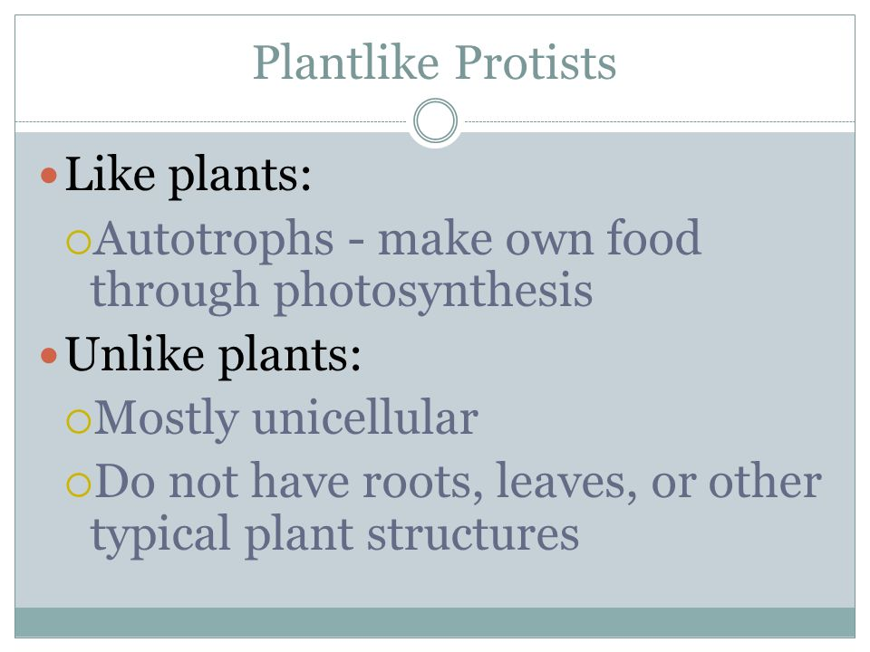 Plantlike Protists Like plants: Autotrophs - make own food through photosynthesis. Unlike plants: