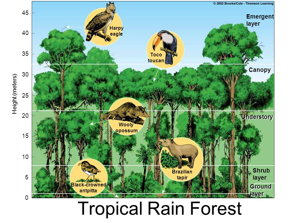 Tropical Rain Forest 45 Emergent layer 40 35 Canopy 30 Height (meters)