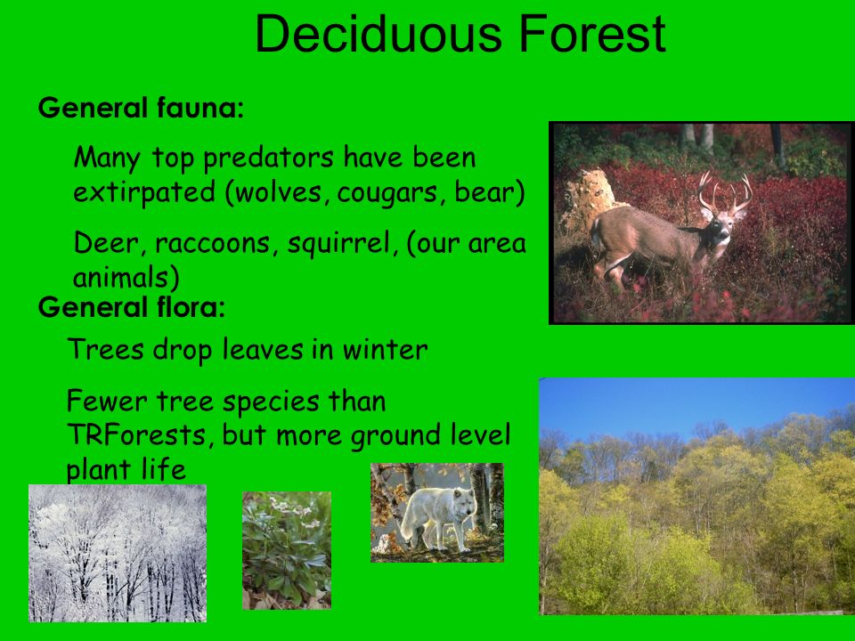 Deciduous Forest General fauna: