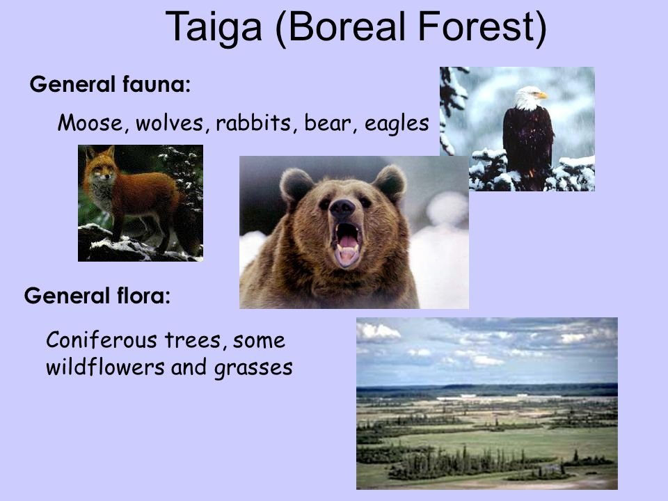 Taiga (Boreal Forest) General fauna: