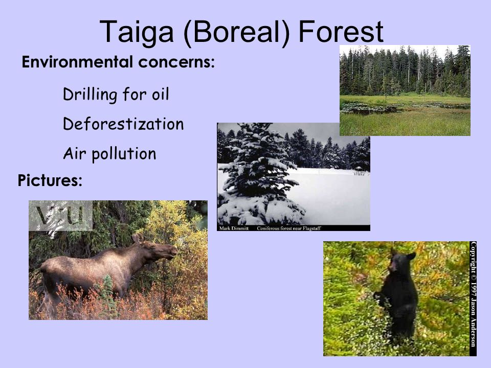 Taiga (Boreal) Forest Environmental concerns: Drilling for oil