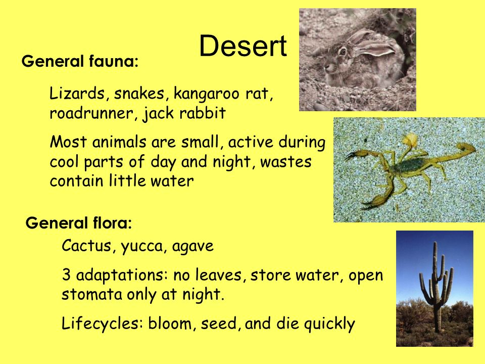 Desert General fauna: Lizards, snakes, kangaroo rat, roadrunner, jack rabbit.