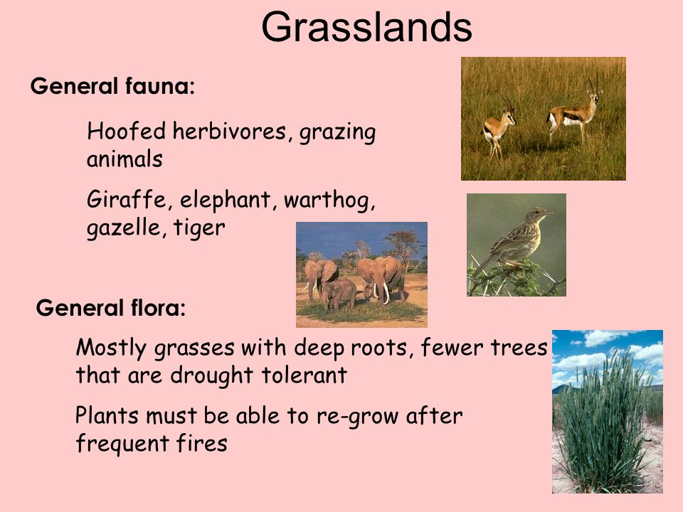 Grasslands General fauna: Hoofed herbivores, grazing animals