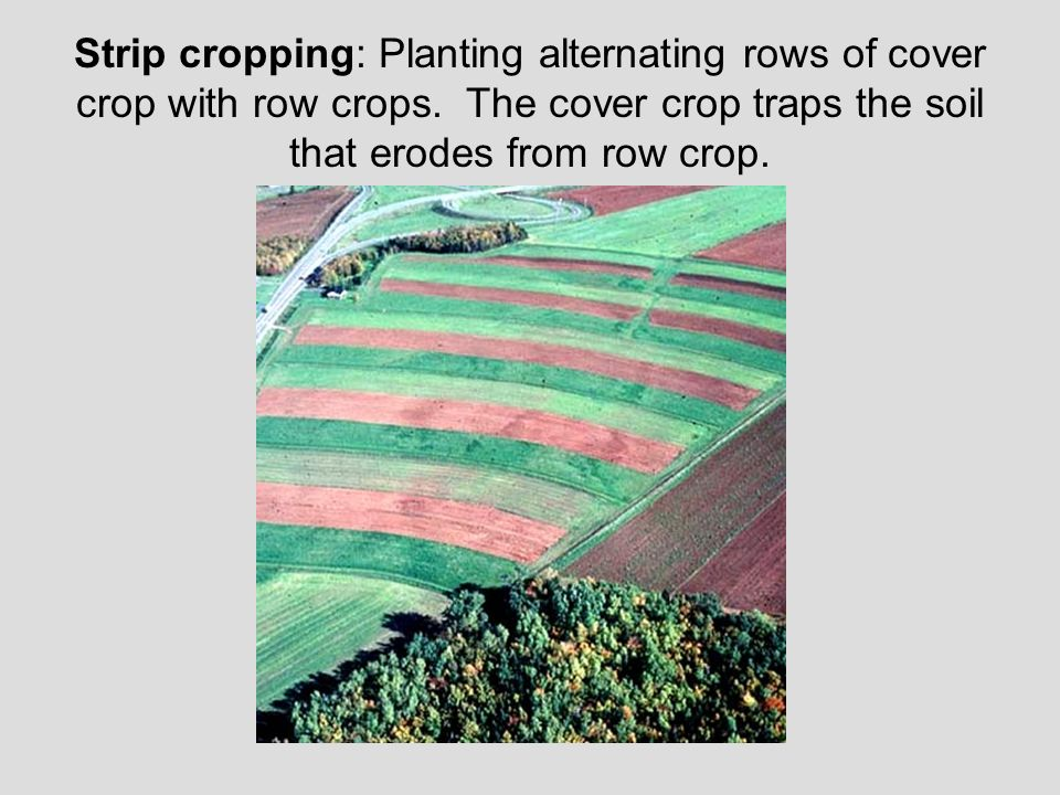 Strip cropping: Planting alternating rows of cover crop with row crops