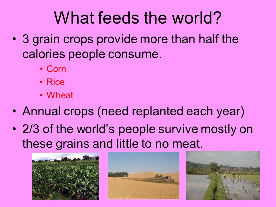 What feeds the world 3 grain crops provide more than half the calories people consume. Corn. Rice.