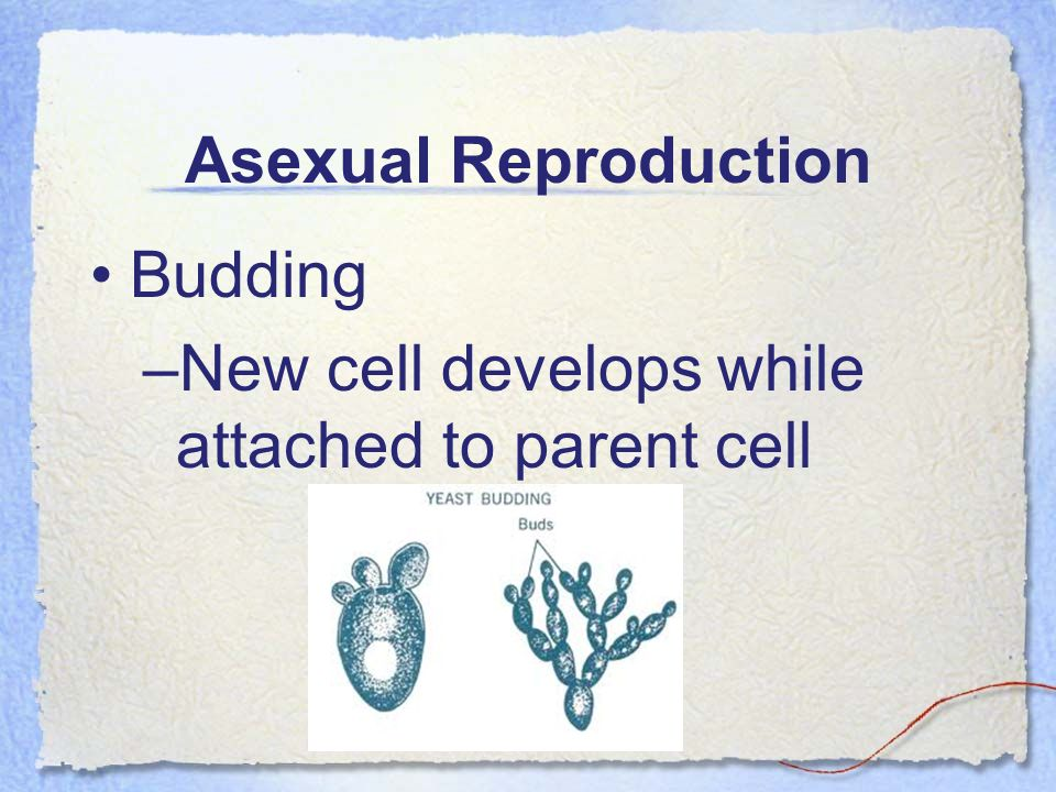 Asexual Reproduction Budding New cell develops while attached to parent cell