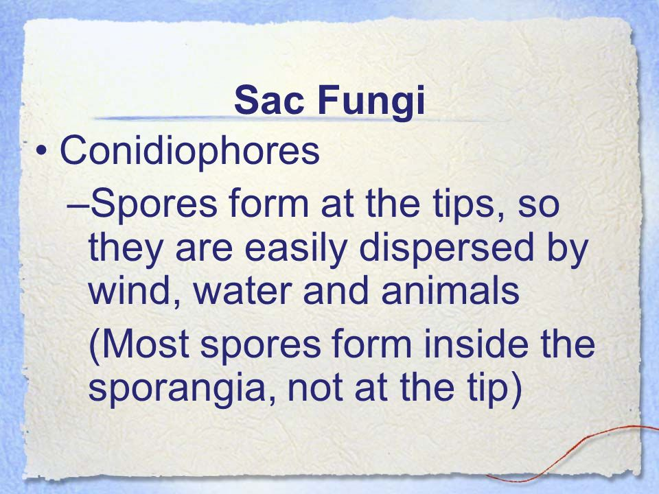 Sac Fungi Conidiophores. Spores form at the tips, so they are easily dispersed by wind, water and animals.