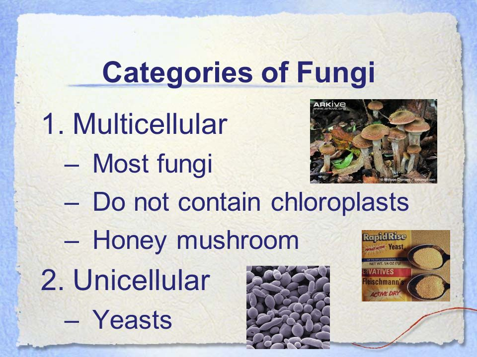Categories of Fungi Multicellular Unicellular Most fungi