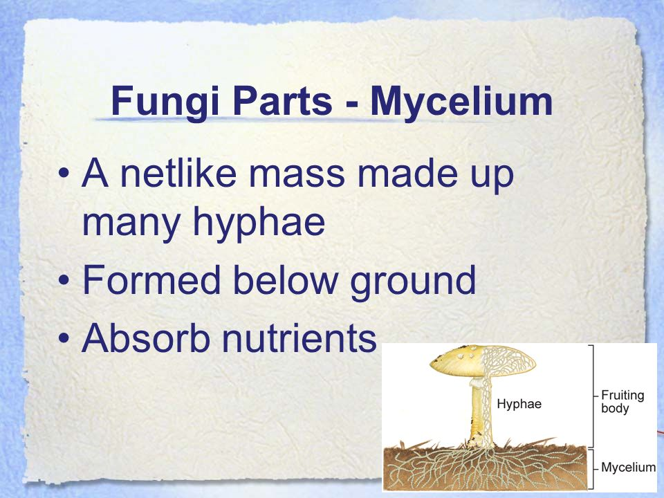 Fungi Parts - Mycelium A netlike mass made up many hyphae Formed below ground Absorb nutrients