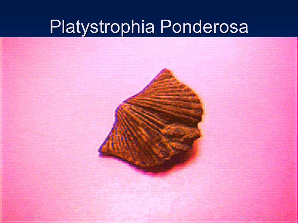 Platystrophia Ponderosa