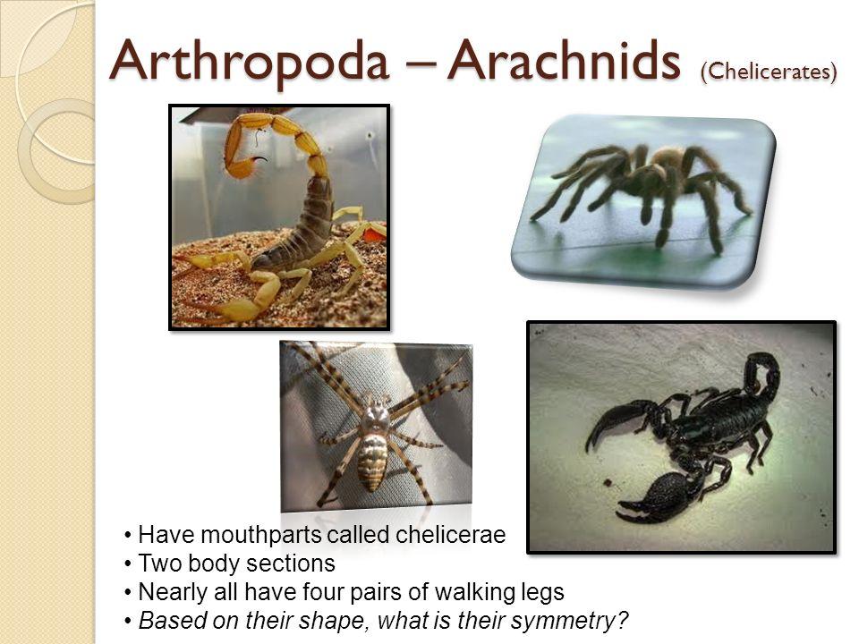 Arthropoda – Arachnids (Chelicerates)