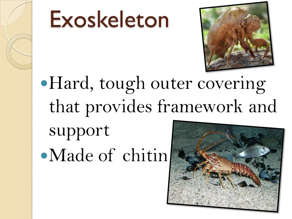 Exoskeleton Hard, tough outer covering that provides framework and support Made of chitin