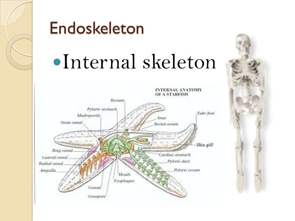 Endoskeleton Internal skeleton
