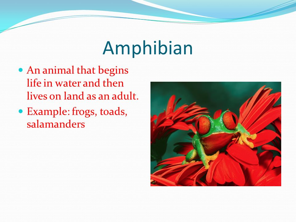 Amphibian An animal that begins life in water and then lives on land as an adult.