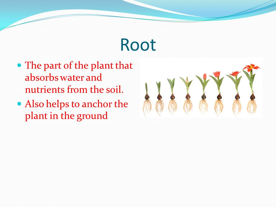 Root The part of the plant that absorbs water and nutrients from the soil.