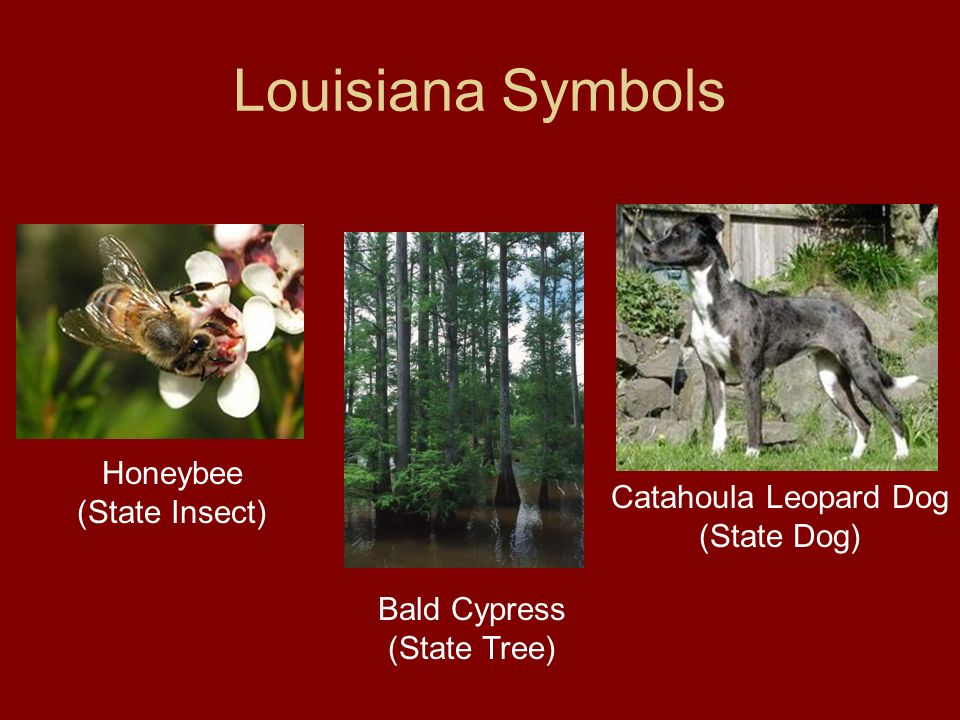 Louisiana Symbols Honeybee (State Insect)