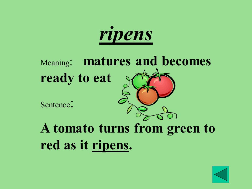 ripens A tomato turns from green to red as it ripens.