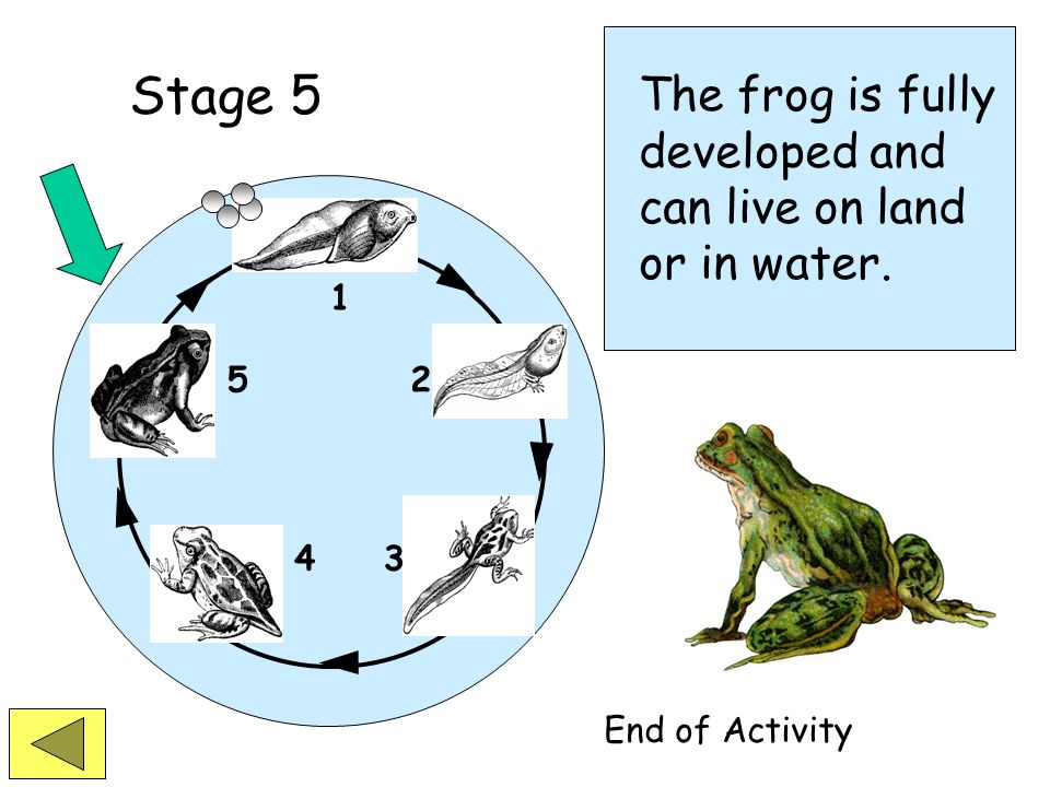 Stage 5 The frog is fully developed and can live on land or in water.