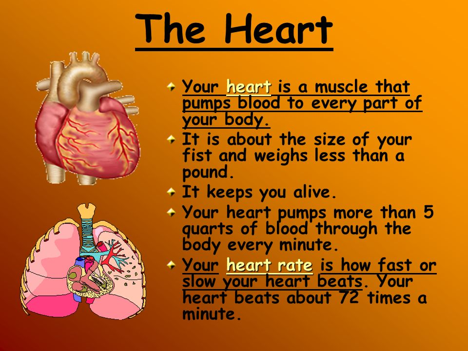 The Heart Your heart is a muscle that pumps blood to every part of your body. It is about the size of your fist and weighs less than a pound.
