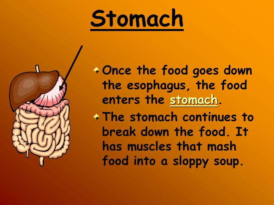 Stomach Once the food goes down the esophagus, the food enters the stomach.