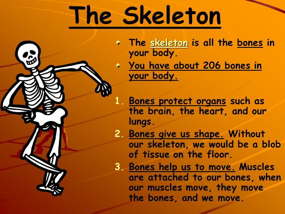 The Skeleton The skeleton is all the bones in your body.