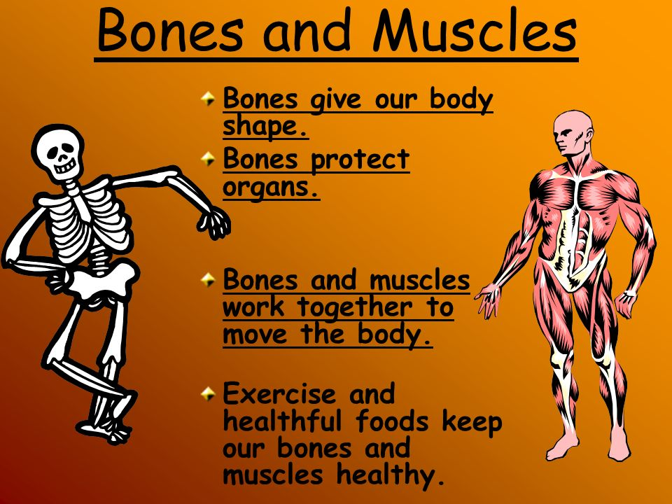 Bones and Muscles Bones give our body shape. Bones protect organs.