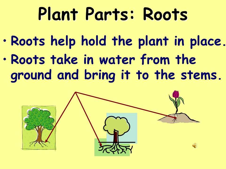 Plant Parts: Roots Roots help hold the plant in place.